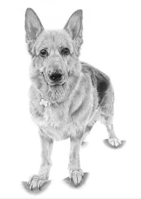 Cassie | Pet Portrait | Alsatian portrait