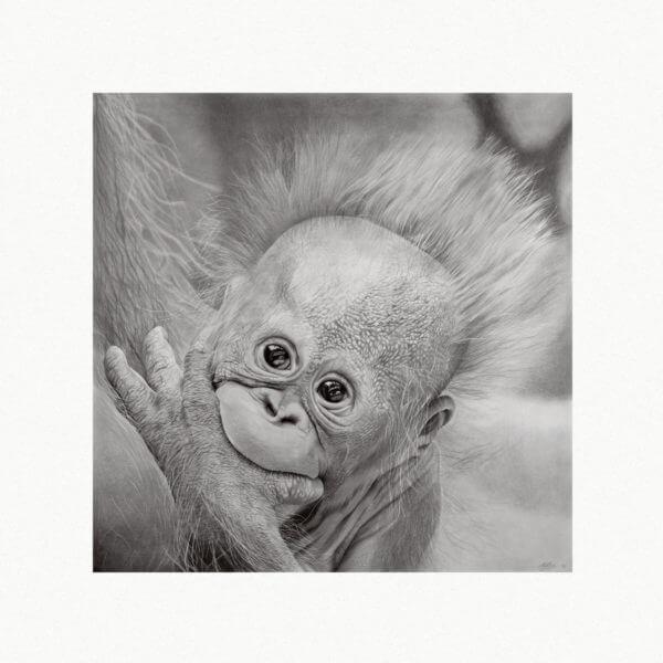 Wildlife orangutang ape artwork. Baby Monkey sketch