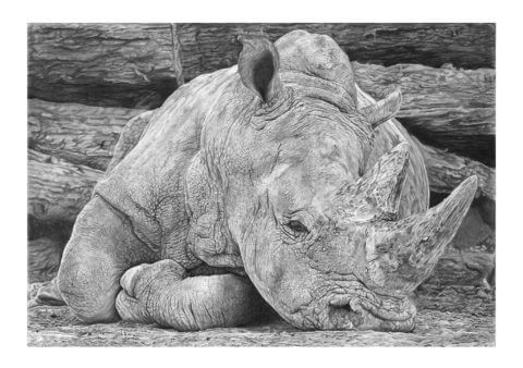 'Heavy Sleeper' | Rhino Artwork | Original Wildlife Art