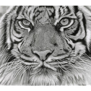 'Intention' | Tiger Artwork | Original Wildlife Art