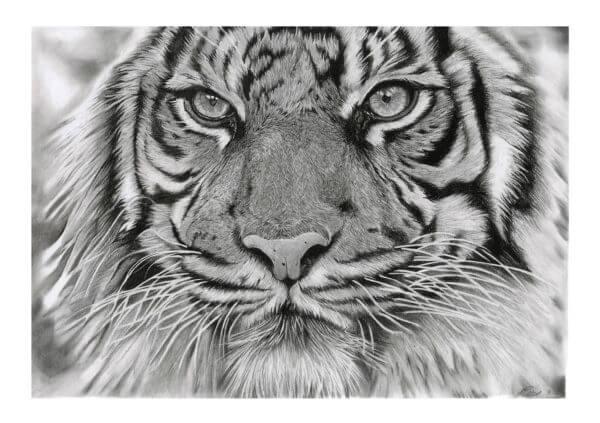 'Intention'   Tiger Artwork   Original Wildlife Art