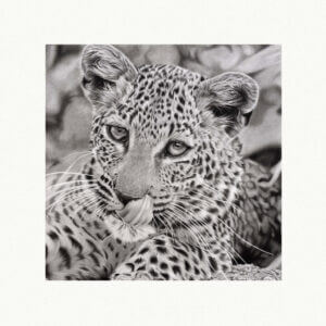 leopard fundraiser art print