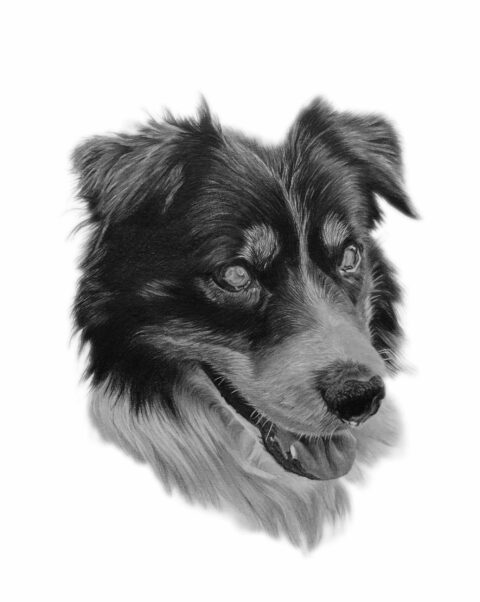 Collie dog portrait